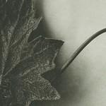 bryonia alba bossfeldt