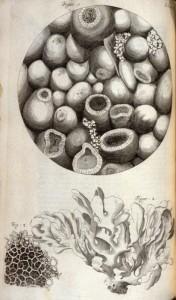 Micrografía partede unaesponja de mar y coral. R. Hooke - Jo.Martyn & Ja.Allestry©