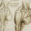 Detalle del estudio de la musculatura humana, Leonardo da Vinci.